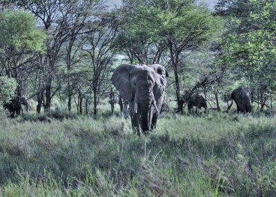 Elephants roaming on a safari.