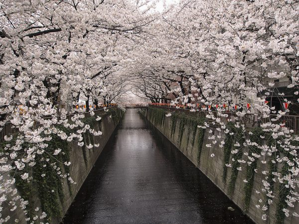 Photo of cherry blossoms in Tokyo.