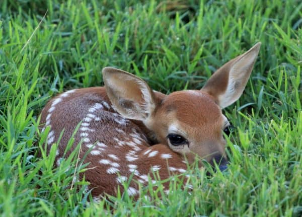 Fawn photographed in spring.