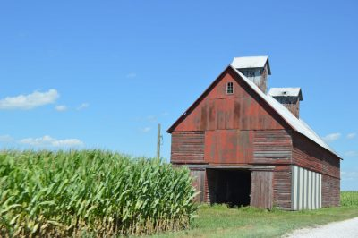 Old barn next to a cornfield on a sunny day.