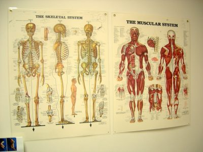 Anatomy poster demonstrating human bones and muscles.
