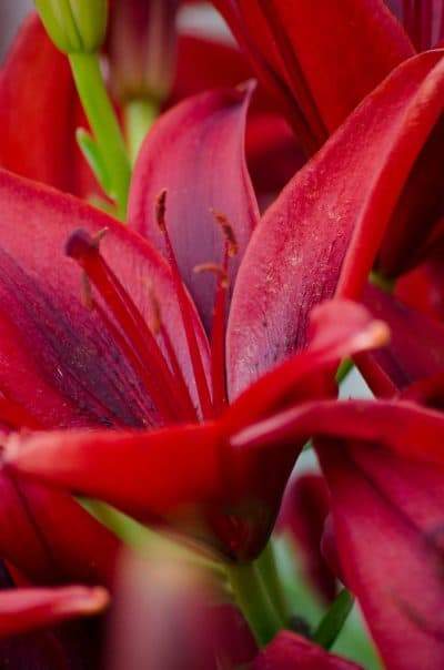 Red lillies are the perfect accent to a Chinese New Year celebration.