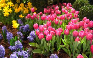 Photo of Tulips, Hyacinths, and Daffodils.
