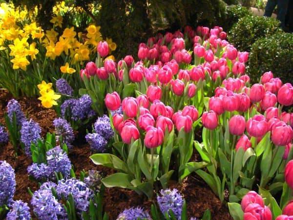 Photo of Tulips, Hyacinths, and Daffodils.